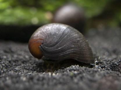 brown helmet snail