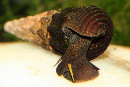 yellow antenna rabbit snail (tylomelania gemmifera)