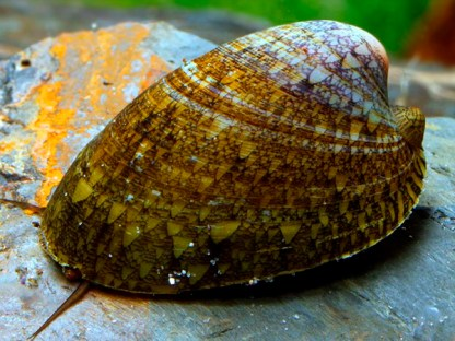 marbled limpet nerite snail