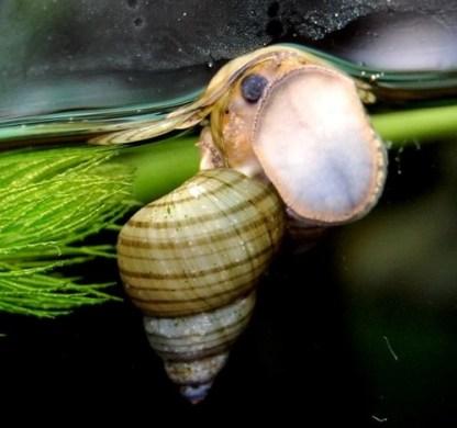Tiger tower snail (filopaludina sumatrensis polygramma)