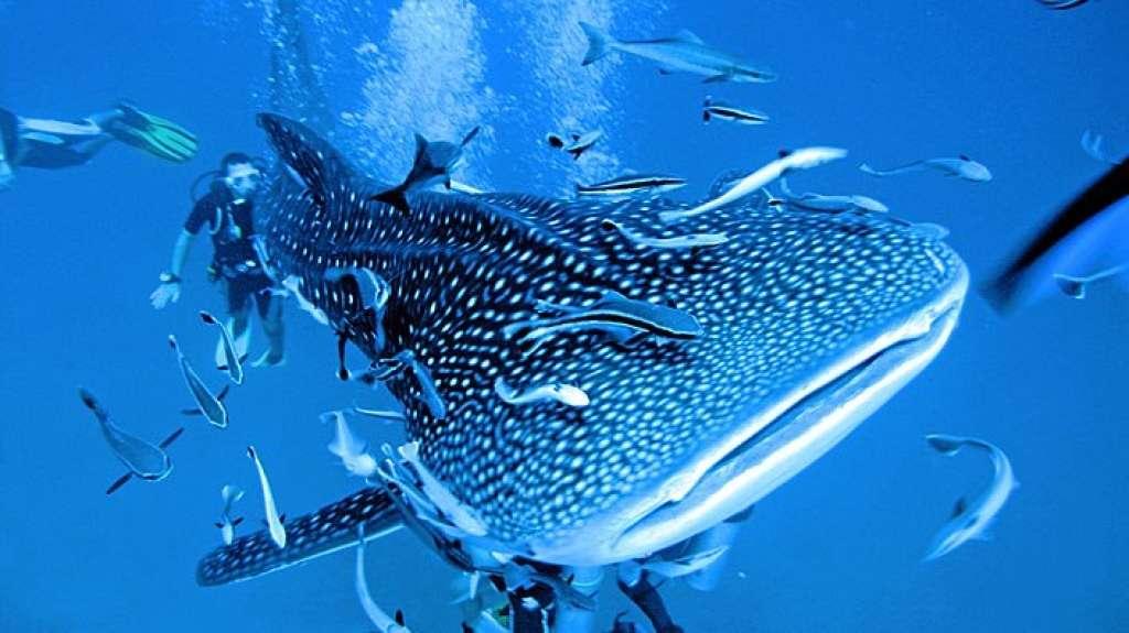 plonger requin baleine