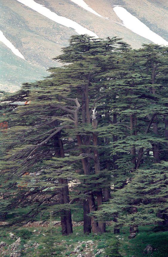 غابات الارز