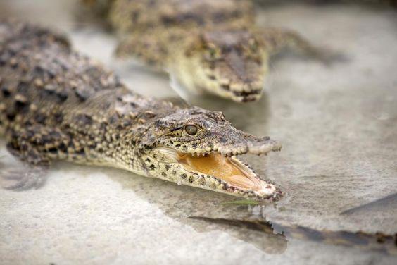 التمساح الكوبى