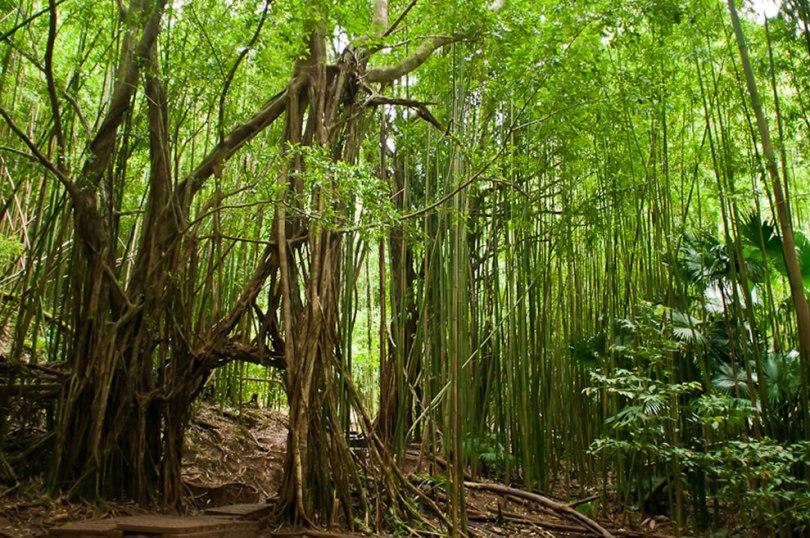 غابات الخيزران
