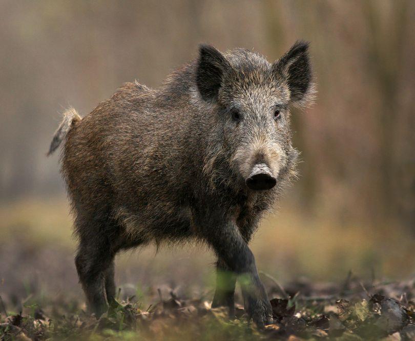 الخنزير البرى