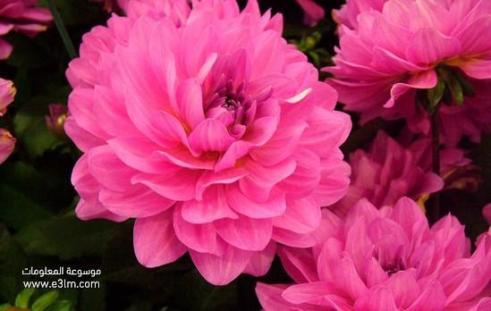 زهرة أضاليا (Dahlia)