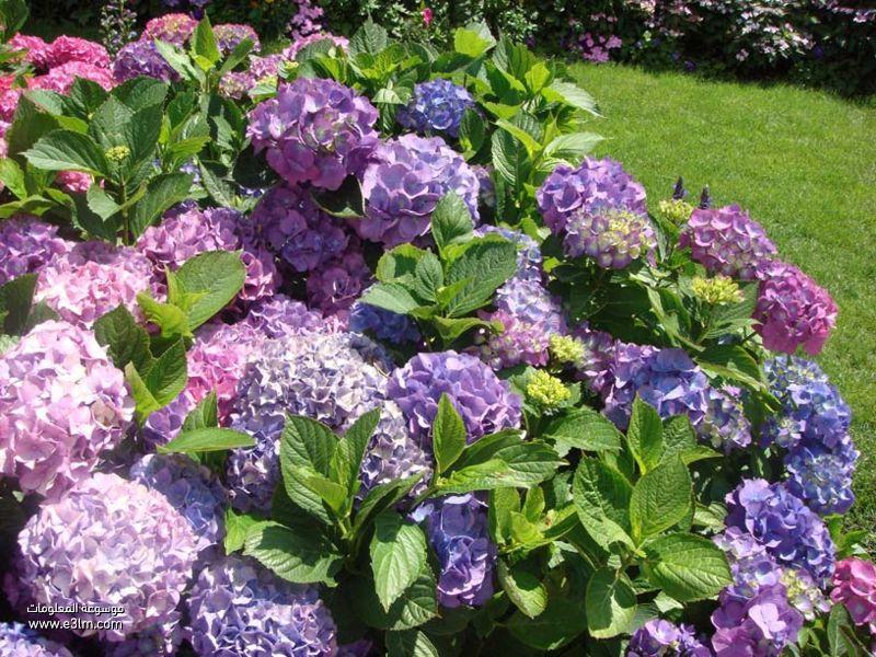 زهرة كوب الماء (Hydrangea)