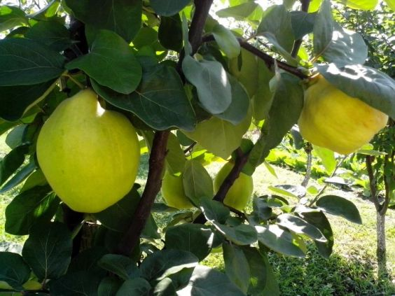 two-large-quinces-on-the-tree-725x544