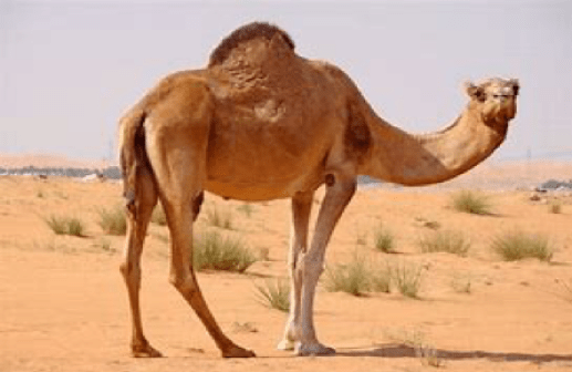 """The Importance of that """"Splendid Beast""""--the Camel--to the Arab World"""