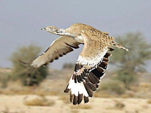 Arabia's Most Coveted Quarry - the Houbara Bustard