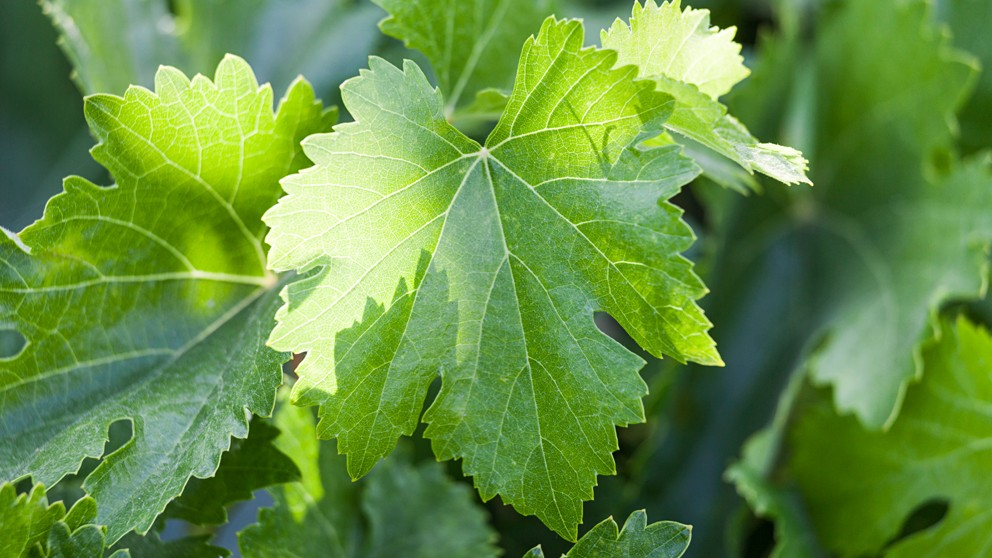 Grape Leaves: Delicious AND Super Healthy