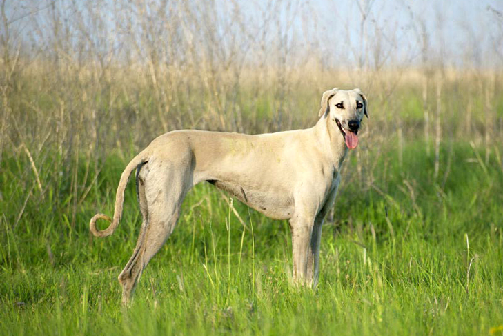 The Top 8 Amazing Cat and Dog Breeds of the Arab World That You Want to Know About!