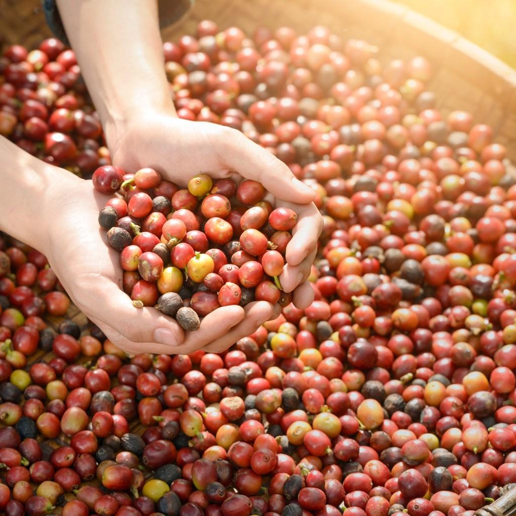 geplukte arabica koffiebessen
