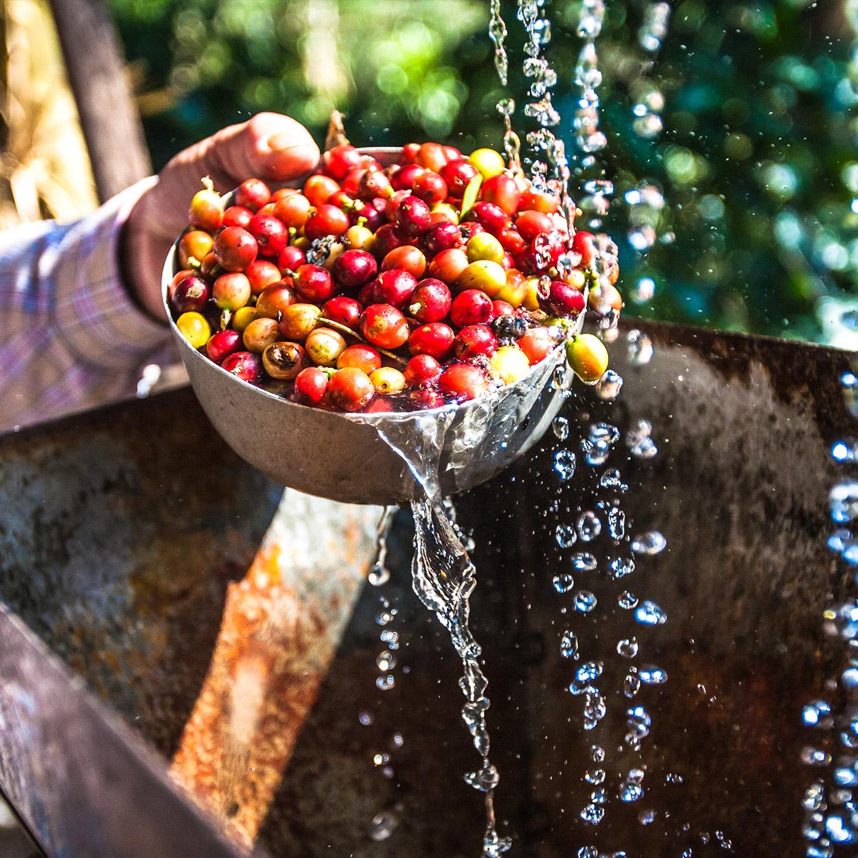arabica koffiebessen wassen dv
