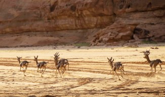After 60 years, native gazelles return to Arabia