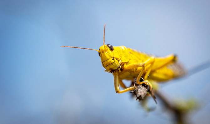 Swarms of locusts attack crops across Saudi Arabia   Arab News