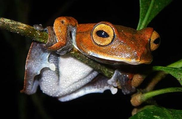 vampire-frog