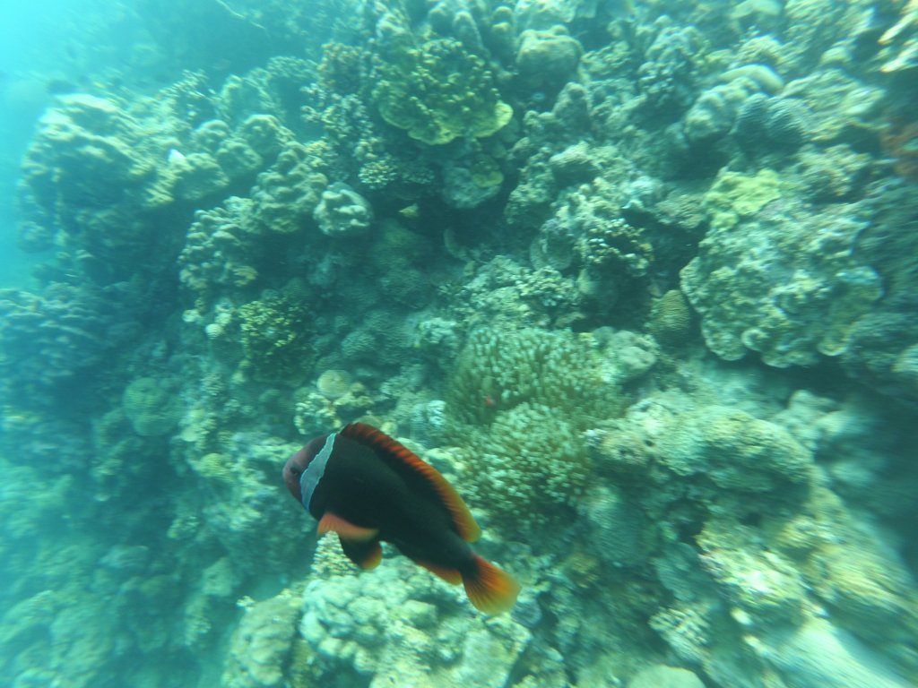 """ALT=""""the fish to find while scuba diving in batangas"""""""