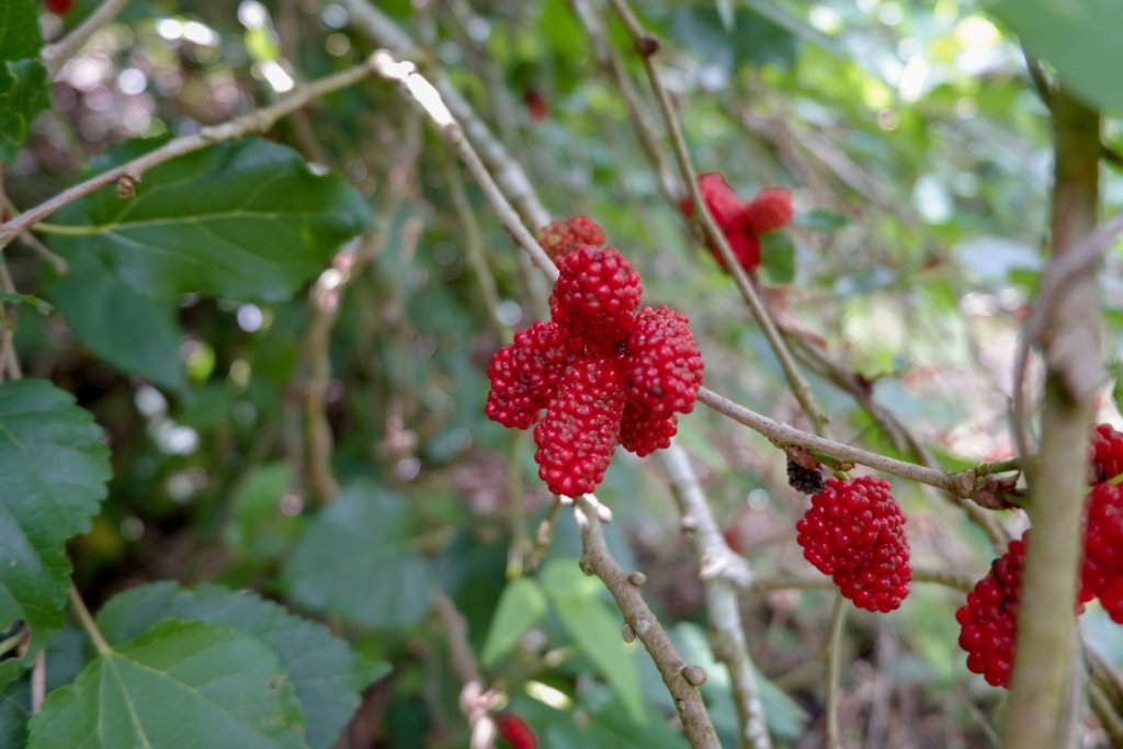"""ALT=""""the red mulberry you can have"""""""
