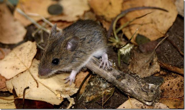 raton cola larga