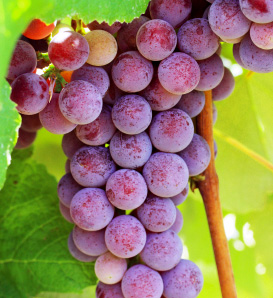 Catawba Grape Vine—Vitis labrusca 'Catawba'