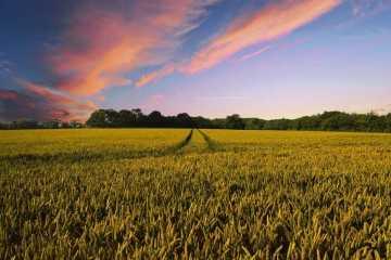 tarwe meel veld