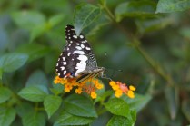 butterfly, Chiang Mai, arboursabroad