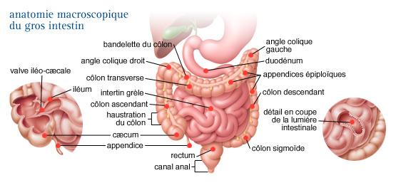 histologie de l appareil digestif pdf