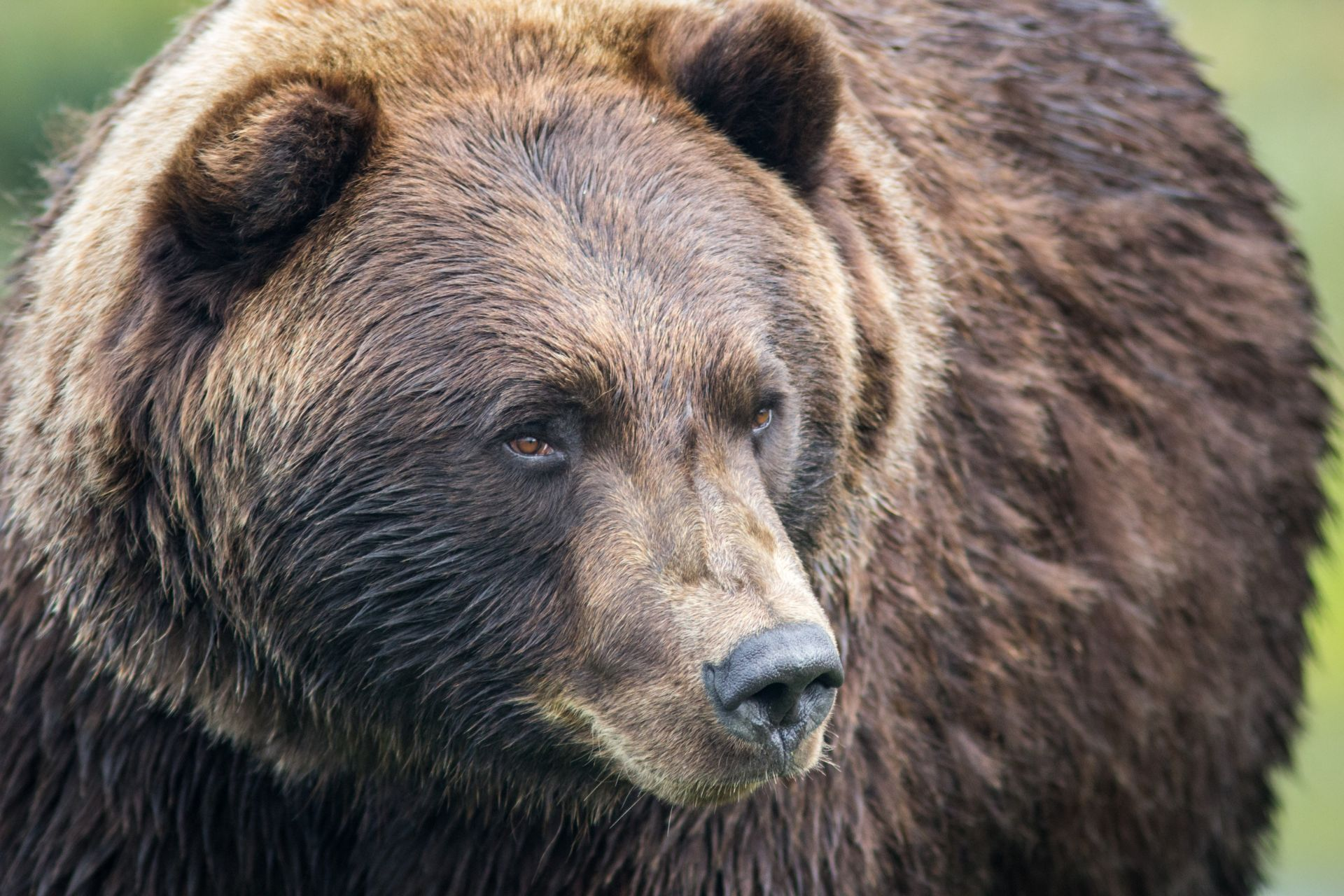 California Grizzly Bear Facts