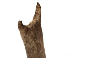 rabbit-bone-image-copyright-University-of-Exeter