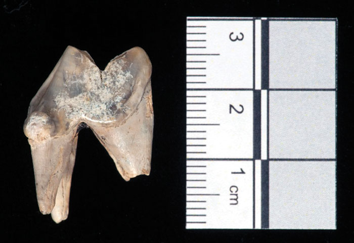 Close-up photograph of the single canine tooth recovered from the Blick Mead Mesolithic 'home-base' in 2016. (Photo: Jeff Veitch)
