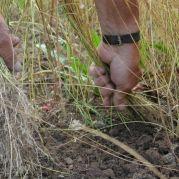 Leinernte im archäobotanischen Garten<br/>Raccolta del lino nel giardino archeobotanico<br/>Testing flax harvesting techniques at archeoParc