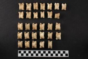 Zooarcheologo: Astragali di pecora (Ovis aries)