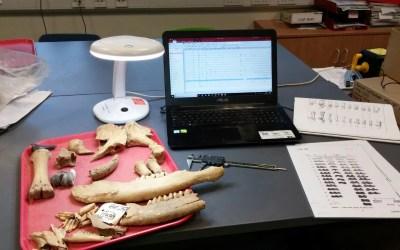 Ossa, denti di animali e non solo… cosa fa uno zooarcheologo?