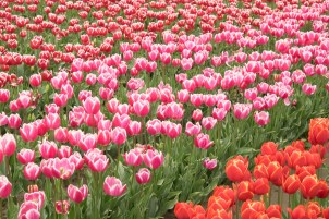 Tulips in Washington