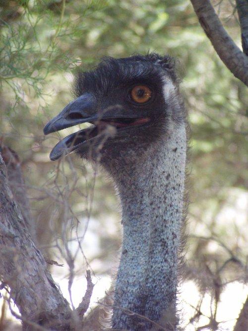 Emu- NOPE