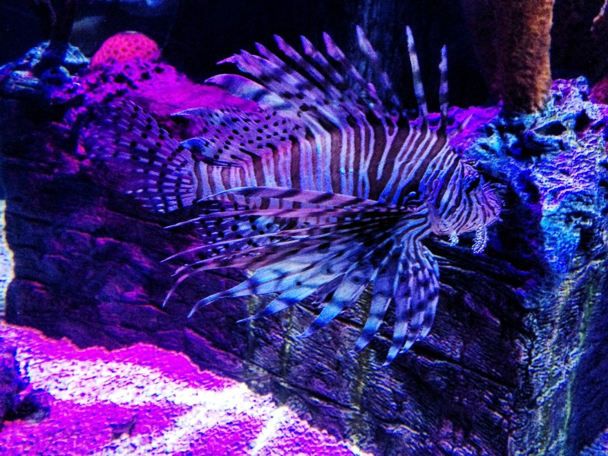 Sea life Aquarium Lionfish