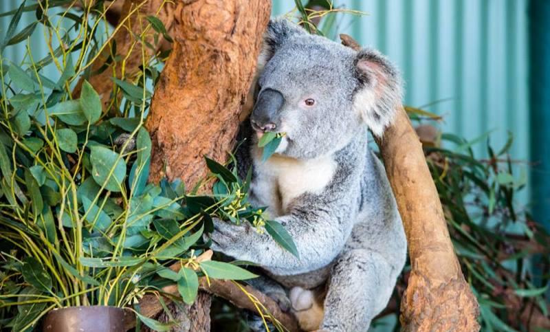 Featherdale Wildlife Park Koala