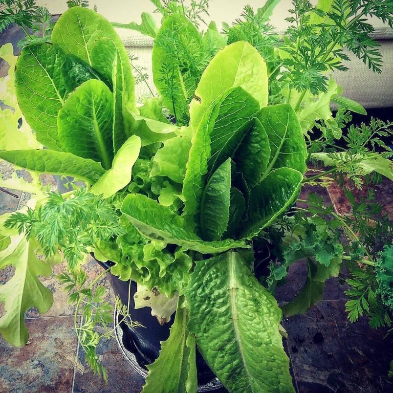 ArcticDeco.com: Arctic lettuce harvest