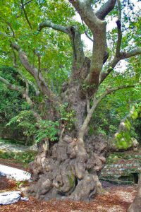 2000 year old Platanos (plane tree)