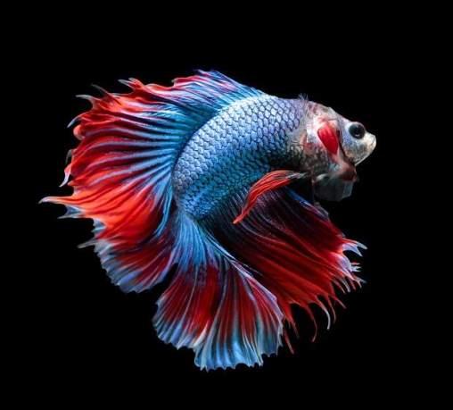 8 Jenis Ikan Hias Ini Bisa Menjadi Penghias Rumah Sekaligus Menemani