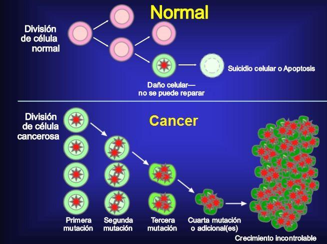 Resultado de imagen de celulas normales y celulas cancerigenas