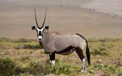 A Namibian Icon – the Gemsbok
