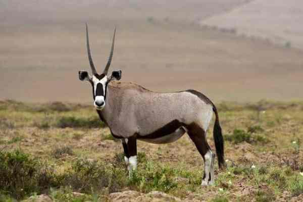 The Gemsbok