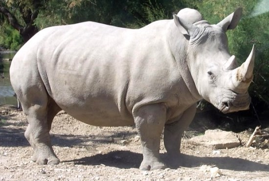 northern-white-rhinoceros