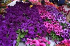 Fiori in Piazza Grande - Arezzo 23