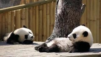 Una pareja de osos panda en el zoo de Madrid.