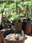 Araucariaplantin-1-