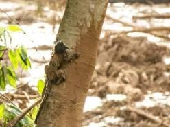 DesastreAmbientalMinasGerais (Macaco)