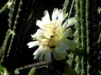 Cactus Teyu Cuare